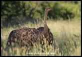 Ostrich juvenile
