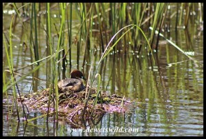 Little Grebe on its nest