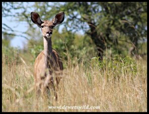 Curious Kudu youngster
