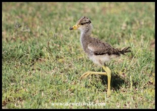 African Wattled Lapwing chick