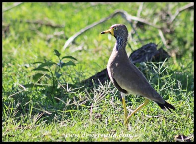 African Wattled Lapwing adult