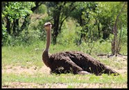 Ostrich female on a nest
