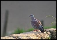 Speckled Pigeons breed in the cliffs around Glen Reenen