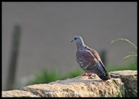 Speckled Pigeons breed in the cliffs around Glen Reenen