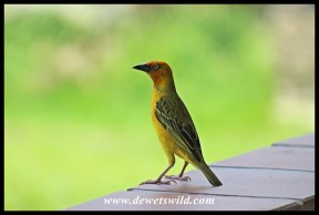 Cape Weaver male
