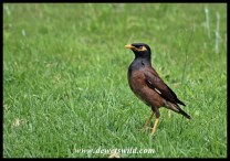 The Common Myna is an alien invasive species