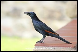 Male Red-Winged Starling