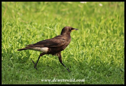 Pied Starling striding across the lawns at Glen Reenen