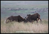 Round 1! Black Wildebeest Duel