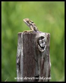 Drakensberg Dwarf Chameleon