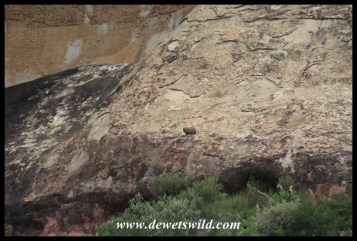 Well camouflaged rock hyrax watching our progress