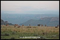 Eland and blesbok