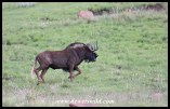 Black wildebeest on the trot along Golden Gate's game viewing circuit