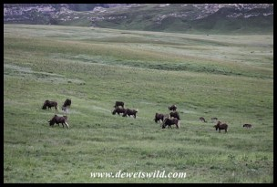 Black wildebeest herd on a plateau