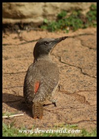 Ground Woodpecker