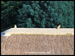 Ground Woodpeckers love scanning their surroundings from high vantage points, such as the top of roofs in Glen Reenen