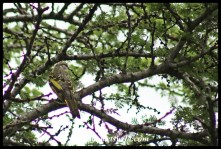 Black Cuckoo-shrike (female)