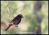 Southern Black Flycatcher