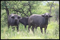 Buffalo cows eyeing us with suspicion