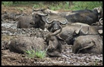 Herd enjoying a mud spa