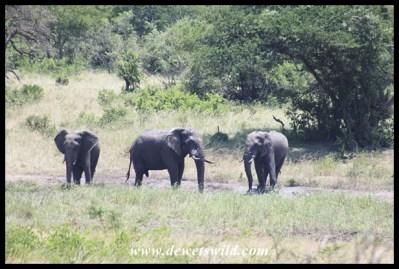 Elephant Bulls enjoying a mud bath in the heat of the day