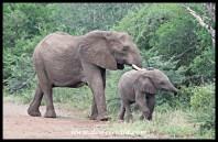 Elephant Cow and Calf