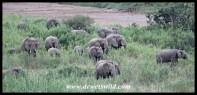 Big elephant herd feeding in a reedbed