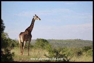 Hluhluwe-Imfolozi giraffe