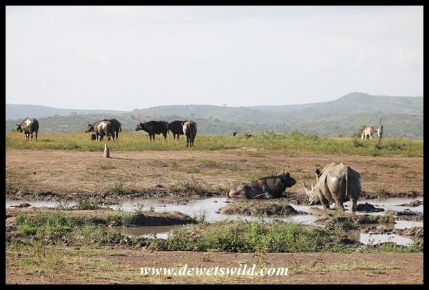 hip-white-rhino-and-buffaloes