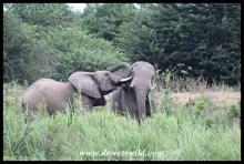 Elephant antics at the Umfolozi Bridge