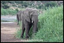 Elephant feeding next to the bridge