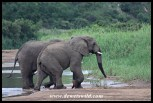 Elephants walking from the water after drinking their fill