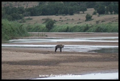 Spotted hyena staking out the Black Umfolozi