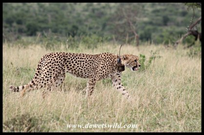 Cheetah with a tracking-collar