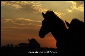 Zebras at sunrise