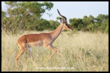 Immature Impala male