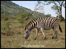 Heavily pregnant Plains Zebra mare