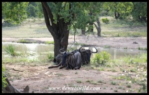 Even Blue Wildebeest appreciate a beautiful spot, like Bhekapanzi Pan
