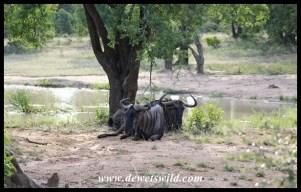 Even Blue Wildebeest appreciate a beautiful spot, like Bhekapanzi Pan