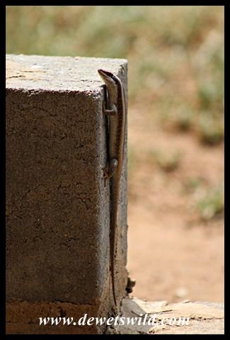 Striped Skink (M.s. striata)