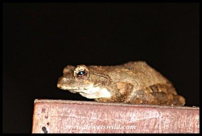 Foam Nest Frog at Thiyeni Hide