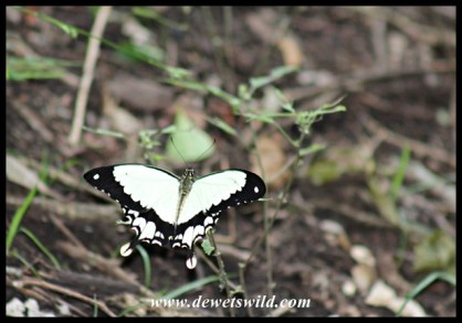 A Flying Handkerchief - the male Mocker Swallowtail - seen along the trail in Hilltop Camp