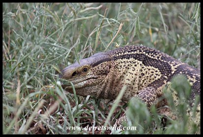 Rock monitor lizard at Sontuli