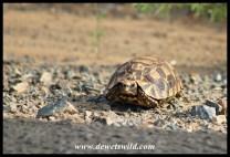 Natal Hinged Tortoise
