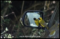 Southern Masked Weaver attacking his own reflection