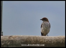 Female Violet-backed Starling