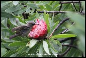Female Greater Double-collared Sunbird visiting a Common Sugarbush