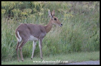 Mountain reedbuck ewe in Thendele