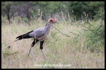 Secretarybird nest building