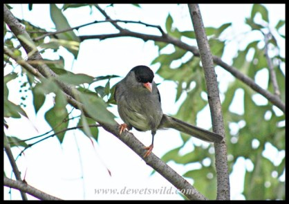 Bush Blackcap in Thendele